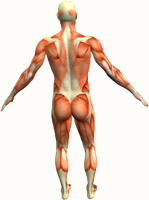 muscles of the body back